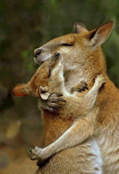 Too kangaroos hugging .