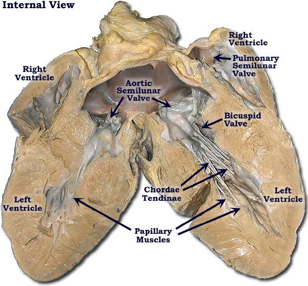 Pig heart pulmonary trunk aorta atria pulmonary veins for Exterior of heart diagram