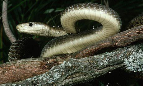 "The deadly black mamba its bite is called the ""kiss of death"" and it is appropriate since"