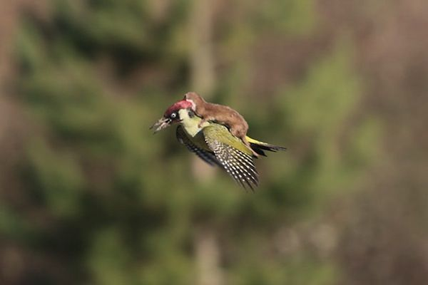 Photo Of Weasel Riding On Woodpecker's Back Whips The Internet Into A Frenzy - DesignTAXI.com