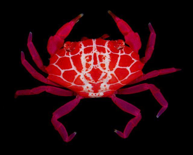 Crab (Liomera rubra, Xanthidae) / Guam