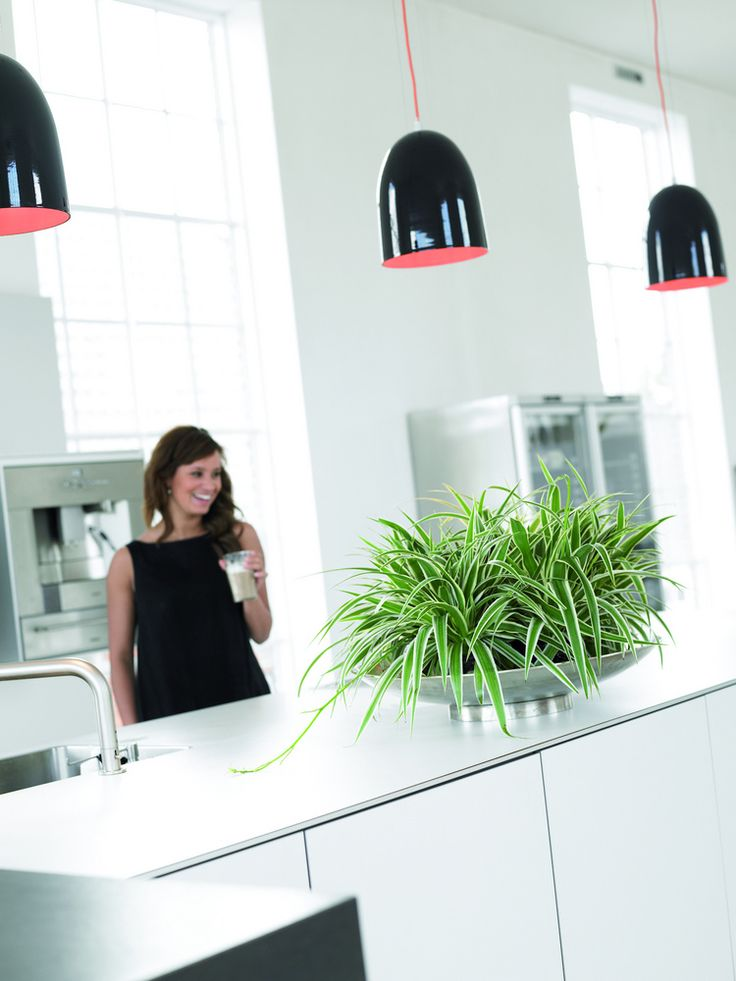 Die Grünlilie besitzt eine besonders gute Fähigkeit, die Formaldehyd-Konzentration in Innenräumen zu senken. Grünlilien bauen auch andere chemische Schadstoffe / Wohngifte ab.
