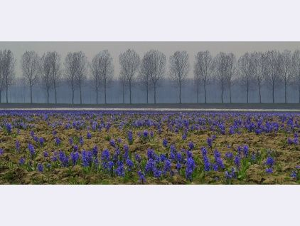 blauwe hyacinten in bloembollenvelden in Zeeuws-Vlaanderen......