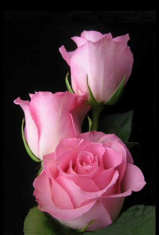 Pink, white, or any shade in between...roses are love...roses hold my memories.
