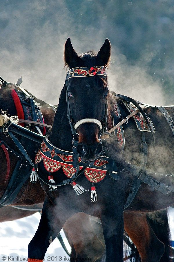 Beautiful black horse in colorful festive harness with tassels. Snowy background…