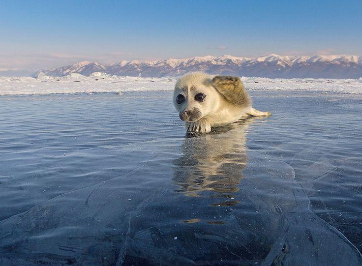 Ce photographe a passé 3 ans à essayer de faire son premier cliché de phoques sur la glace, jusqu'à ce qu'il rencontre ce bébé phoque…