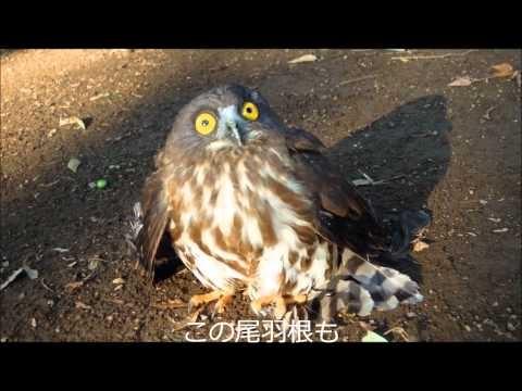 上野公園でカラスにいじめられていたフクロウ いるんだねぇ