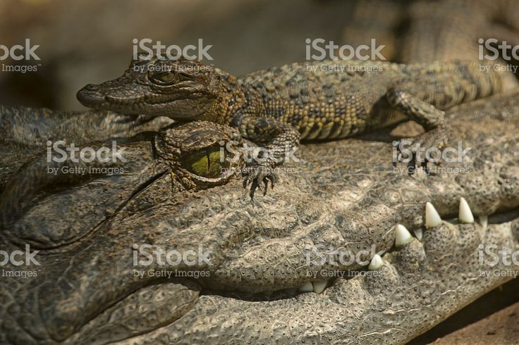 Baby Crocodile on Adult's Head royalty-free stock photo