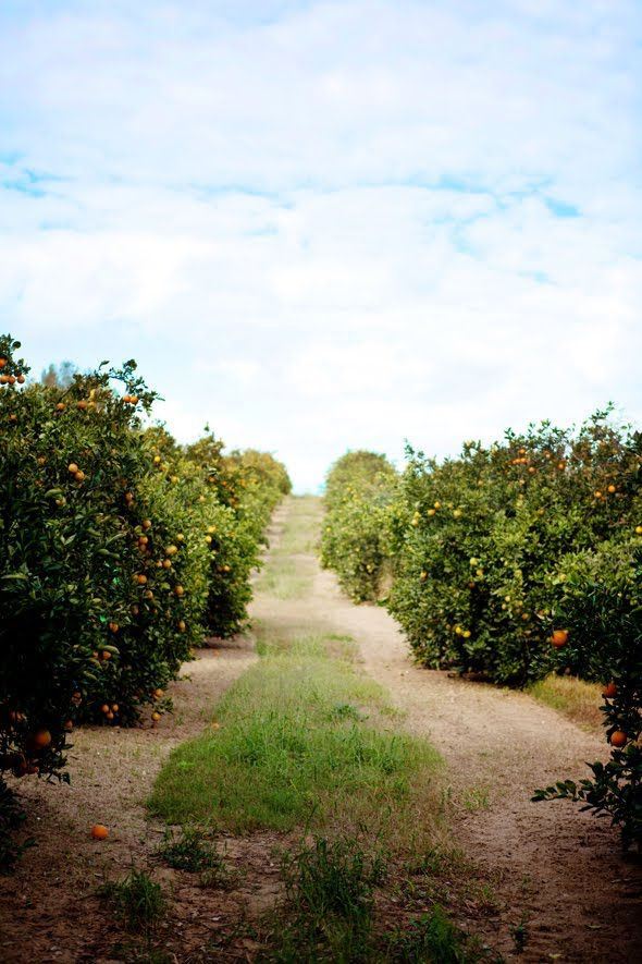 orange groves - used to rent a house on an orange grove. When they were in bloom, it was divine!