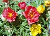 How+to+Grow+Moss+Rose+(Portulaca+grandiflora)+