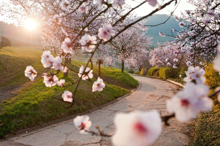 Mandelwochen - Pfälzer Mandelblüte