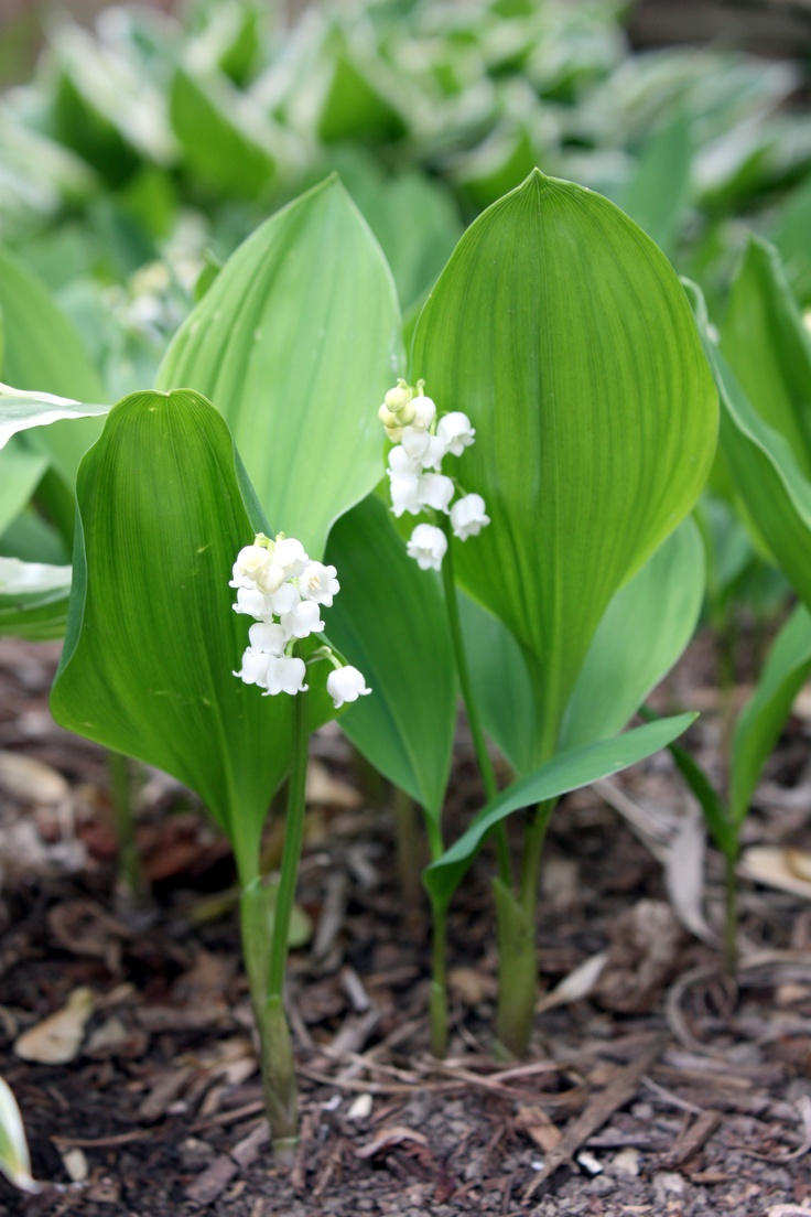 65 best nci iei mge images on pinterest lily of the valley lilly of the valley remind me of my mom izmirmasajfo