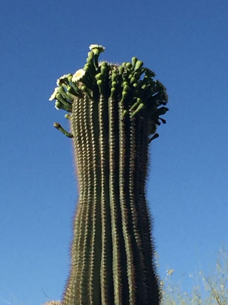 Budding cactus flowers in scottsdale az cactus cactus