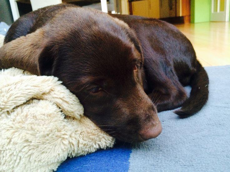Luna slaapt op haar knuffel.. #labrador #chocolate