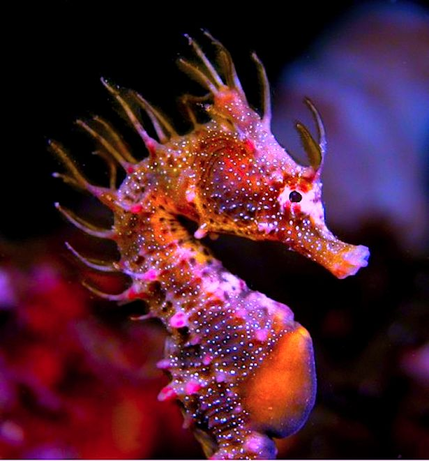 Short Head Seahorse (Hippocampus breviceps) - South Australia