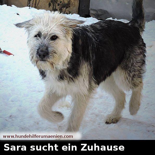 ️ Sara sucht ein Zuhause  Sara wurde auf der Straße gefunden, sie ist am 03.05.16 geboren und wird ca 50-60cm groß werden. Mit anderen Hunden versteht sie sich sehr gut und folgt ihrer Pflegefamilie überall hin. #zuhausegesucht #suchezuhause #tierschutz #hundevermittlung #dogs #dog  #adoption #animalshelter #tierheimtiere #hundefreund #hundeleben #hundesucheneinzuhause #tiervermittlung  #hundeliebe