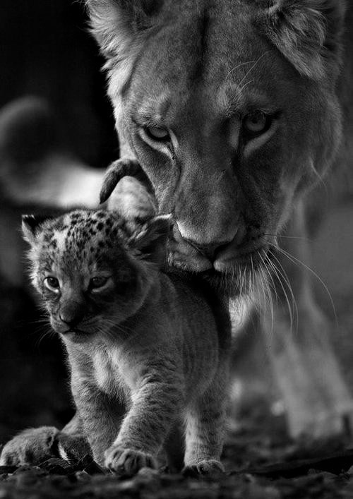 Lion pride. Mommy and baby <3