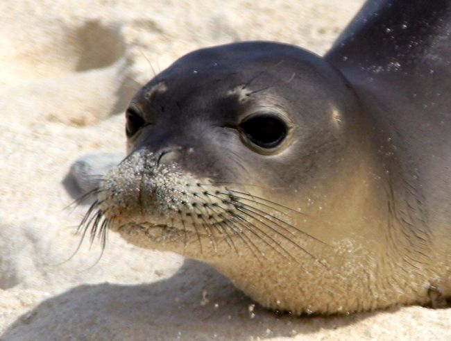 Hawaiian Monk Seal (one of the rarest mammals in the world) - (Top 10 Endangered Animals)