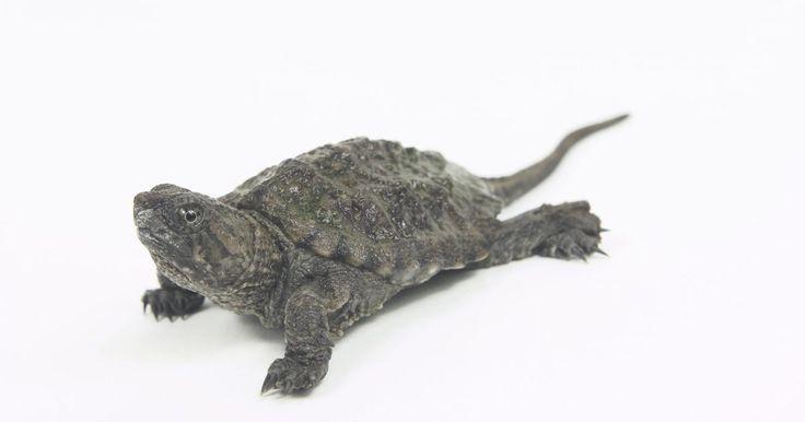 """Como tratar fungos em tartarugas. As tartarugas mantidas em cativeiro desenvolvem frequentemente fungos em suas conchas por causa de um aquário insalubre. É importante manter o seu tanque muito limpo, ou então elas não só podem desenvolver uma infecção fúngica, mas também morrer de uma infecção bacteriana. Por outro lado, algumas pessoas confundem o """"fungo da pele"""", que é a ..."""
