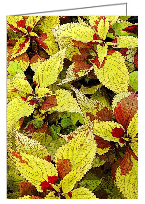 """Coleus Detail - Greeting Card. A graphic display of coleus leaves with digital enhancement to make the leaf edges and veins look more pronounced. 5"""" x 7"""". Blank inside. Includes envelope. Buy online at Rob's Cards and Prints."""