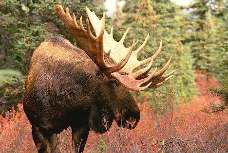 Image detail for -Moose (spiritual animal symbol) – unpredictability, spontaneity ...