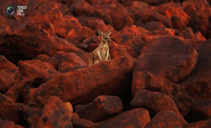 A kangaroo stands on iron ore boulders near the port of Dampier in the Pilbara region of Western Australia