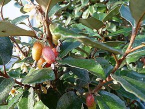 Elaeagnus ebbingei, arbuste touffu, fleurit l'hiver, très odorant, feuille vert argenté.