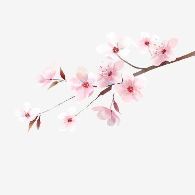 The Illustrations Of Japanese Cherry Blossoms Cherry Blossom Clipart Chrysanthemum Sunny Png Transparent Clipart Image And Psd File For Free Download Cherry Blossom Art Cherry Blossoms Illustration Cherry Blossom Clip Art