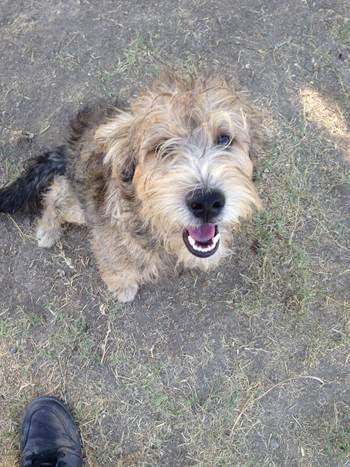 ***SUPER SUPER URGENT!!!*** - PLEASE SAVE BENJI!! - EU DATE: 8/18/2015 -- Benji (07292015m-D01) Breed:Terrier (mix breed) Age: Young adult Gender: Male Size: Medium Special needs: hasShots, Shelter Information: Delano Animal Shelter 1525 Settlers Avenue Delano, CA Shelter dog ID: 07292015M-D01 Contacts: Phone: 661-721-3377 Name: Delano Animal Control email: SHELTER661@GMAIL.COM Read more at http://www.dogsindanger.com/dog/1438187399925#jKTiY6tVXUVvoPZA.99