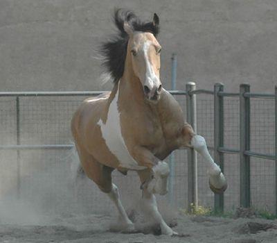 IL PORTALE DEL CAVALLO - razze equine Criollo