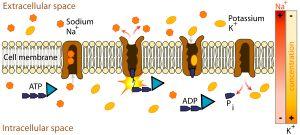 Le système de transport actif est situé dans la membrane. Il nécessite de l'énergie provenant de la respiration des cellules de la racines.