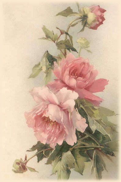 Botanical rose illustration