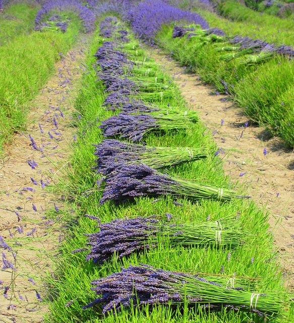 Freshly picked lavender, bound with twine, and left in the fields of Provence to dry. Dried lavender is lovely, and will stay fragrant and bright for a year.  Provence, France