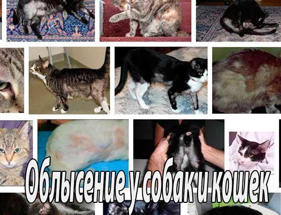 Облысение собак и кошек