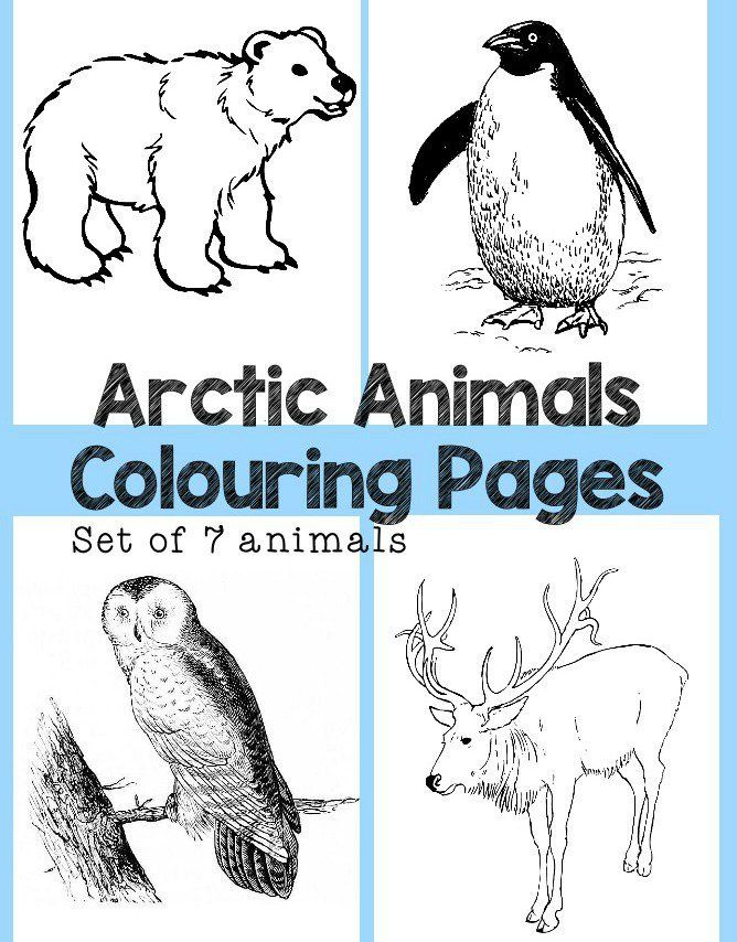 Arctic Animals Colouring Pages Set Of 7 Sheets Featuring Penguin Polar Bear Snowy