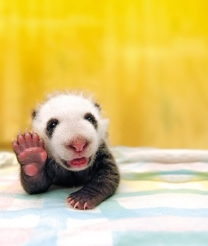 Too cute for words! Not so Giant Panda (baby). High Five little