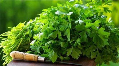 Koriander, a megosztó fűszer-       és gyógynövény