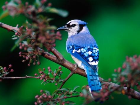 Nice Blue JayBy Adam Jones 3