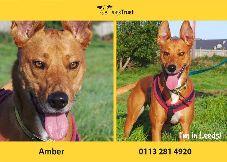 Amber at Dogs Trust Leeds is a super friendly and very fussy Lurcher cross. She loves attention from her human friends and will make a great companion. She would be best suited to an adult only home or home with older teens who want a giddy, bouncy dog to have fun with, and as the only pet.