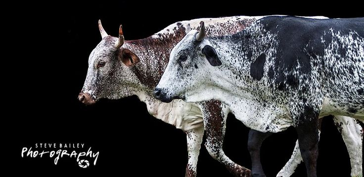Nguni Cattle  of South Africa - Canvas print available  by SteveBailey