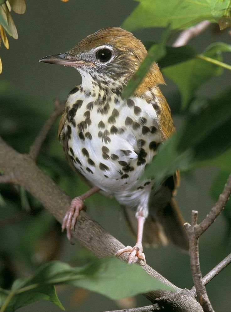Woodthrush - A bird with a brown back and speckles on a white chest sits facing forward on a branch in the underbrush