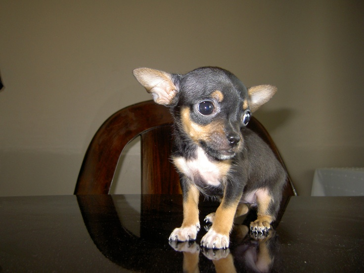 I have two teacup chihuahua puppies for sale.Contact me if you are interested