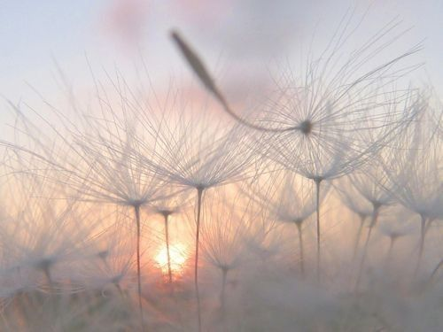 : Make A Wish, Beautiful, Soft Lights, Fields Of Dreams, Quotes Life, Seeds Pods, Dandelions, Photography, Mornings Lights