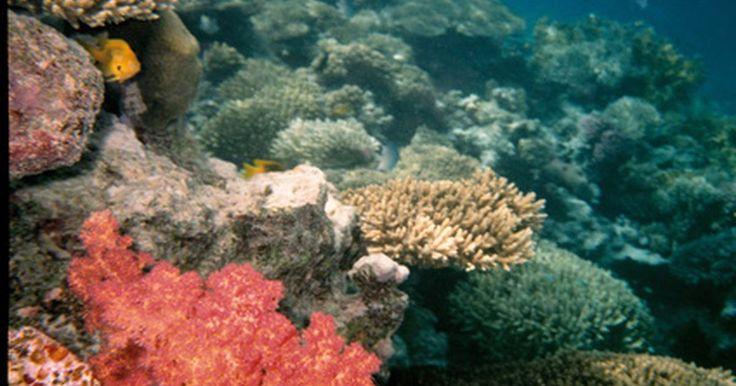 """Perigos ao se aproximar de recifes de coral. A beleza dos recifes de coral tem atraído mergulhadores e nadadores. Os tons vibrantes e corais curiosamente em forma de jardins aquáticos onde uma diversidade abundante de vida marinha faz suas casas. Mas apesar da beleza do recife, evite qualquer tentação de se aproximar e tocá-los - mesmo se estiver usando luvas. Uma abordagem """"sem toque"""" de ..."""