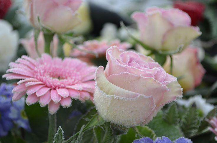 Frostnupna blommor
