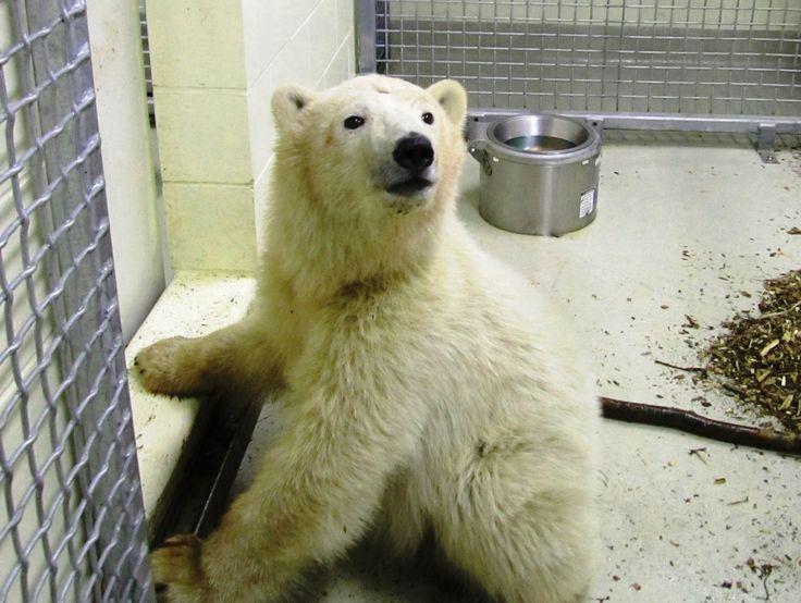 Полярные медвежата-сироты спасены и будут жить в зоопарке Виннипега   - http://zoovestnik.ru/2013/11/15933/