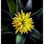 Santaverde Aloe Vera Blüte - Age Protect - http://www.naturwarenkaufhaus.info/2014/05/06/santaverde-aloe-vera-bluete-age-protect/