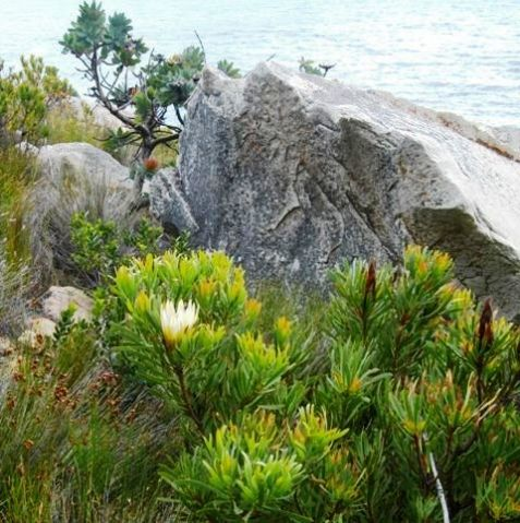 Protea Repens on the Kogelberg by the sea              S A no 94,2