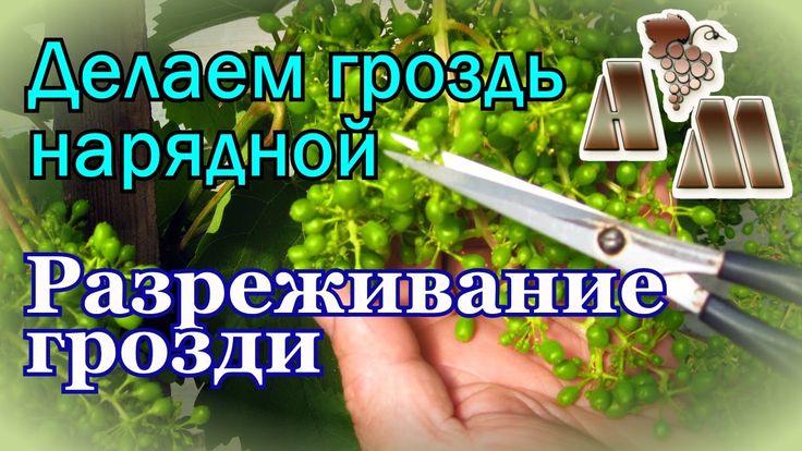 Разреживание гроздей винограда  на примере сорта Алёшенькин
