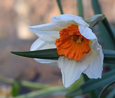 Narcissus Daffodil Flower Daffodils Most Beautiful Flower Pictures Purple Flowers Wallpaper